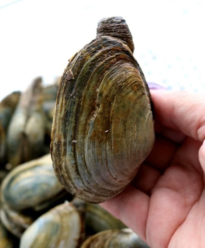 A close up photo of a soft shell, steamer clam.